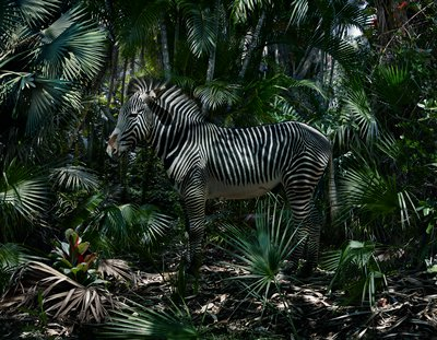 zebra in profile from PL standing in a lush jungle landscape with many palm leaves