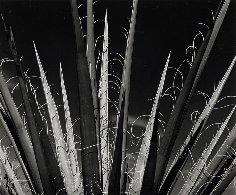 spiky leaves with peeling edges