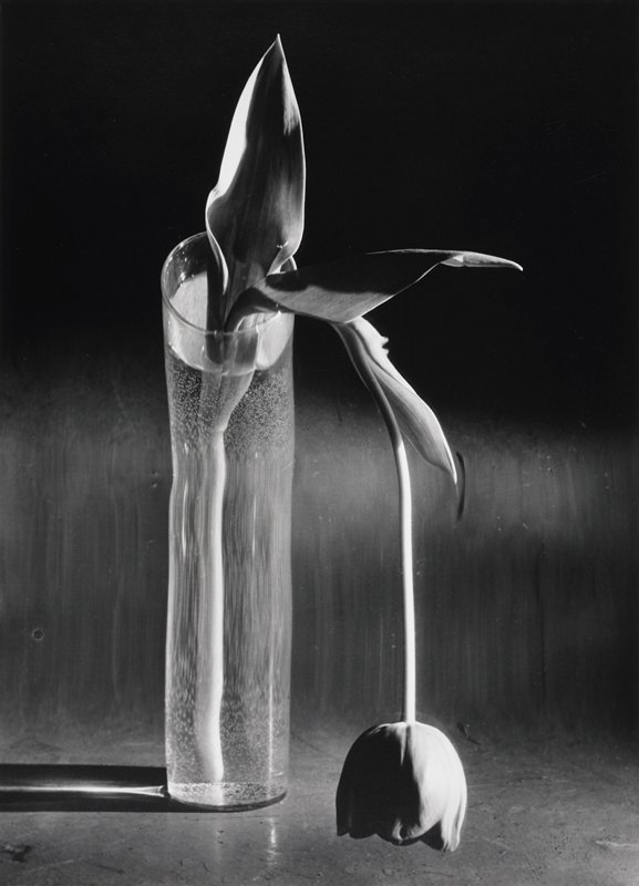drooping tulip in cylindrical vase