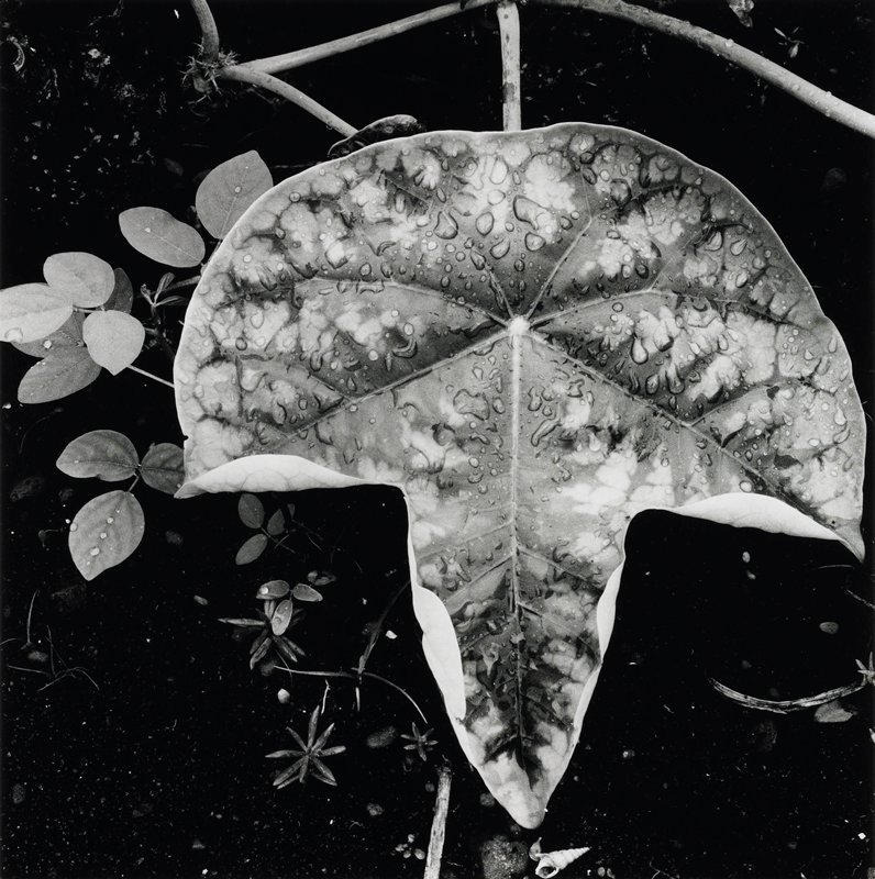 large leaf in water; water drops on leaf; other small leaves below leaf; seashell below point of leaf