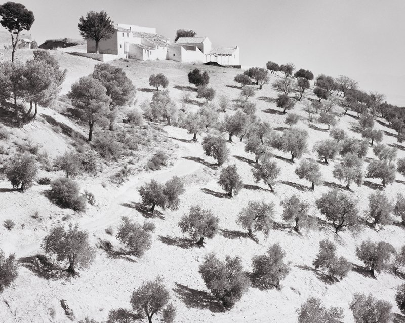 white villa on to of hill; rows of olive trees on hillside; curving dirt track through grove to villa