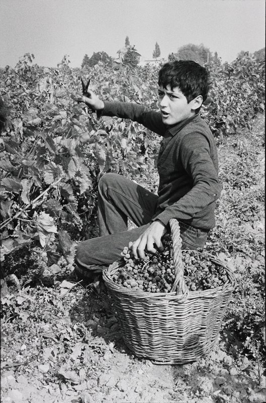 young man picking grapes with clippers in proper right hand and woven basket on other side nearly full