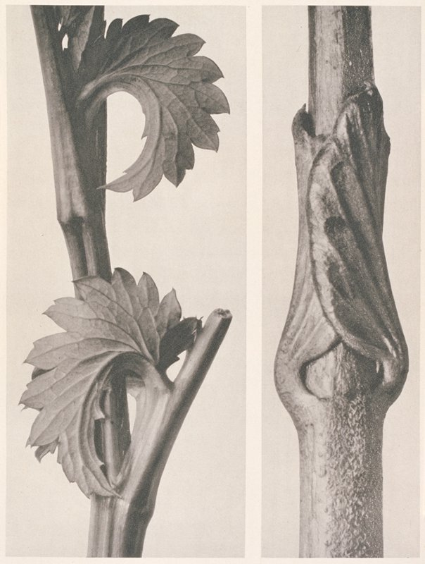two separate images of plant stems; a stalky stem with two downward curling leaves; b straight stem with two leaves resting flat against it