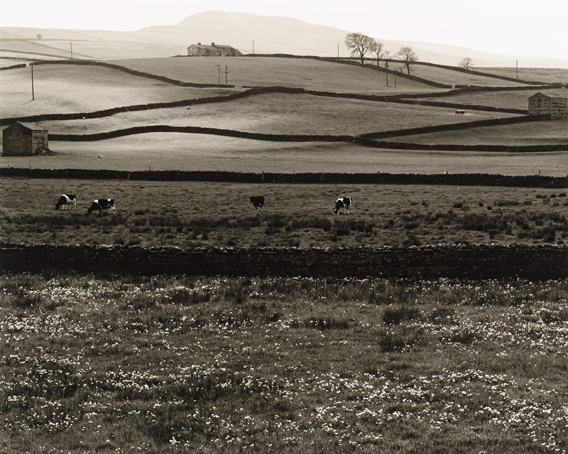 farm pastures with fences; white flowers in foreground; four cows in middle ground; sheep and farm houses and buildings in background; small cluster of bare trees, URQ; high horizon line