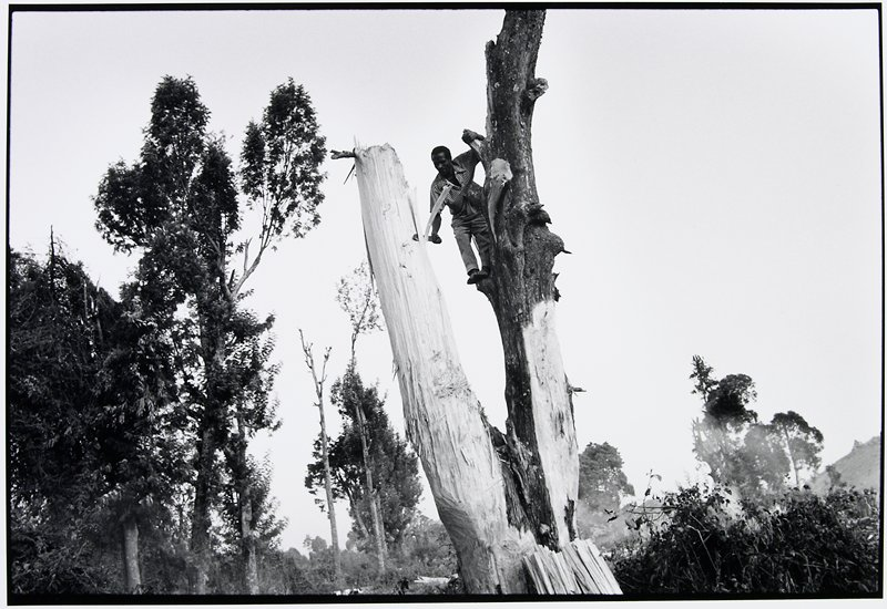man cutting strips of wood off a dead tree