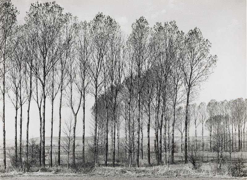 poplar trees in a grove; open countryside behind