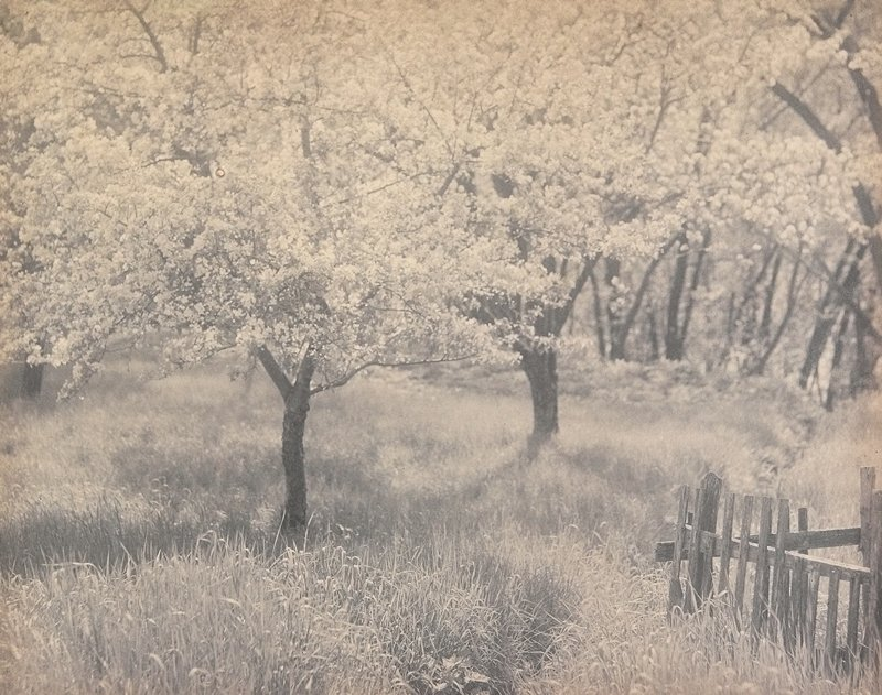 2 blooming apple trees in foreground; other trees in background; fragment of old fence, LRC