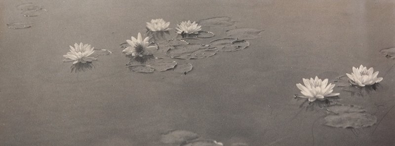 6 water lily blossoms on calm water