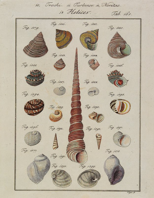 "23 shells, mostly of conical or bulbous shapes and varied colors; long red and white conical shell at center; numbered ""Fig. 1577"" through ""Fig. 1599"""