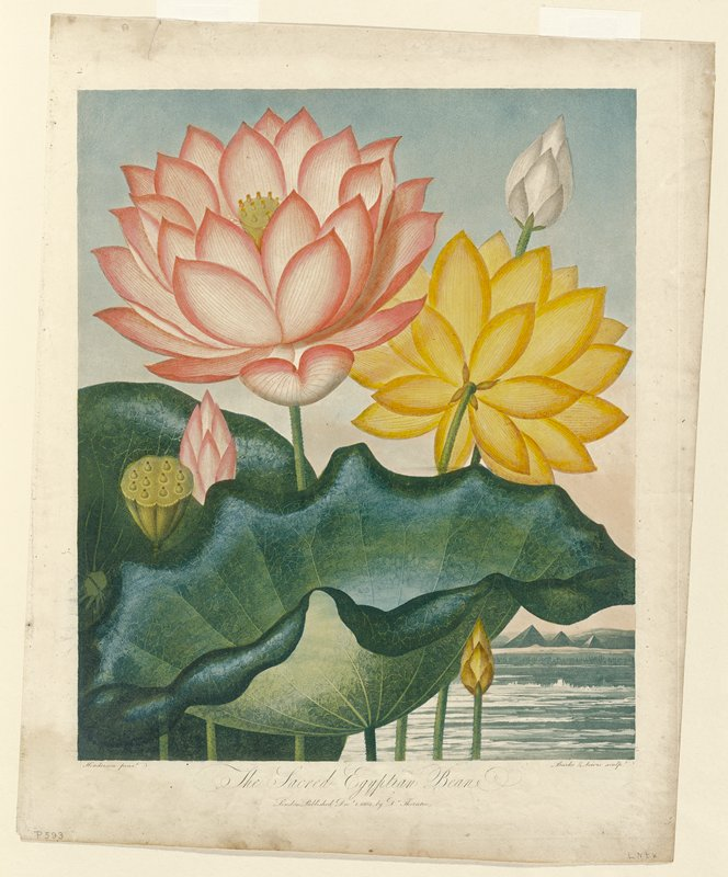 Color-printed illustration of the Sacred Egyptian Bean (Nympaea nelumbo)