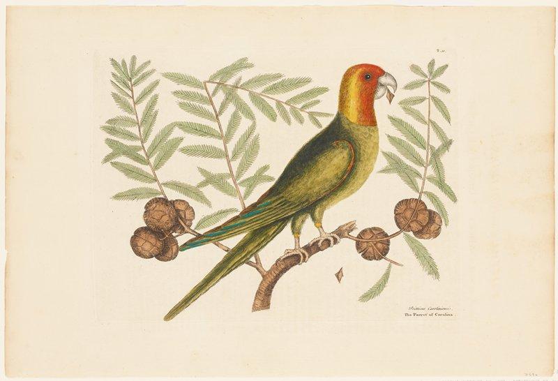 plate T. 11 (Carolina Parakeet)