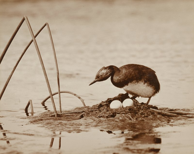 bird standing on a muddy nest with two eggs, surrounded by water